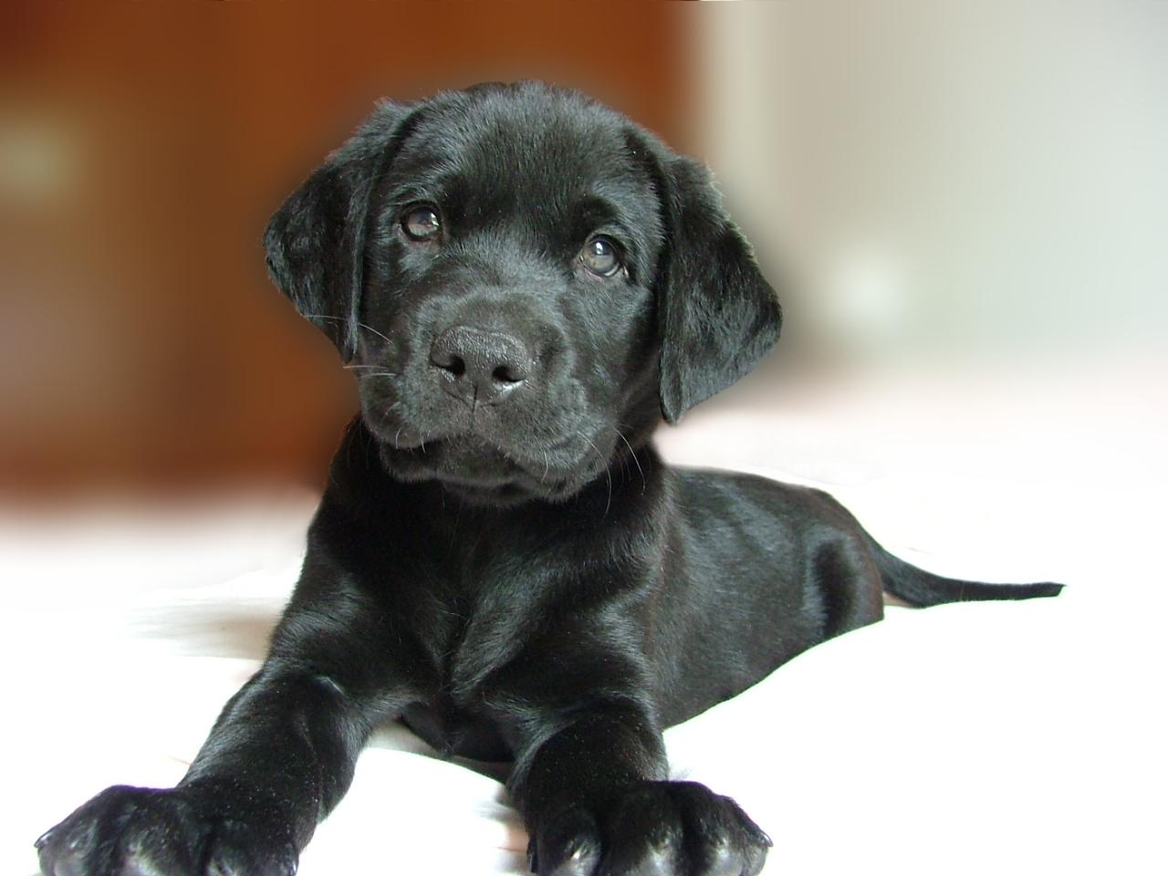 black-puppy-retriever-1381277
