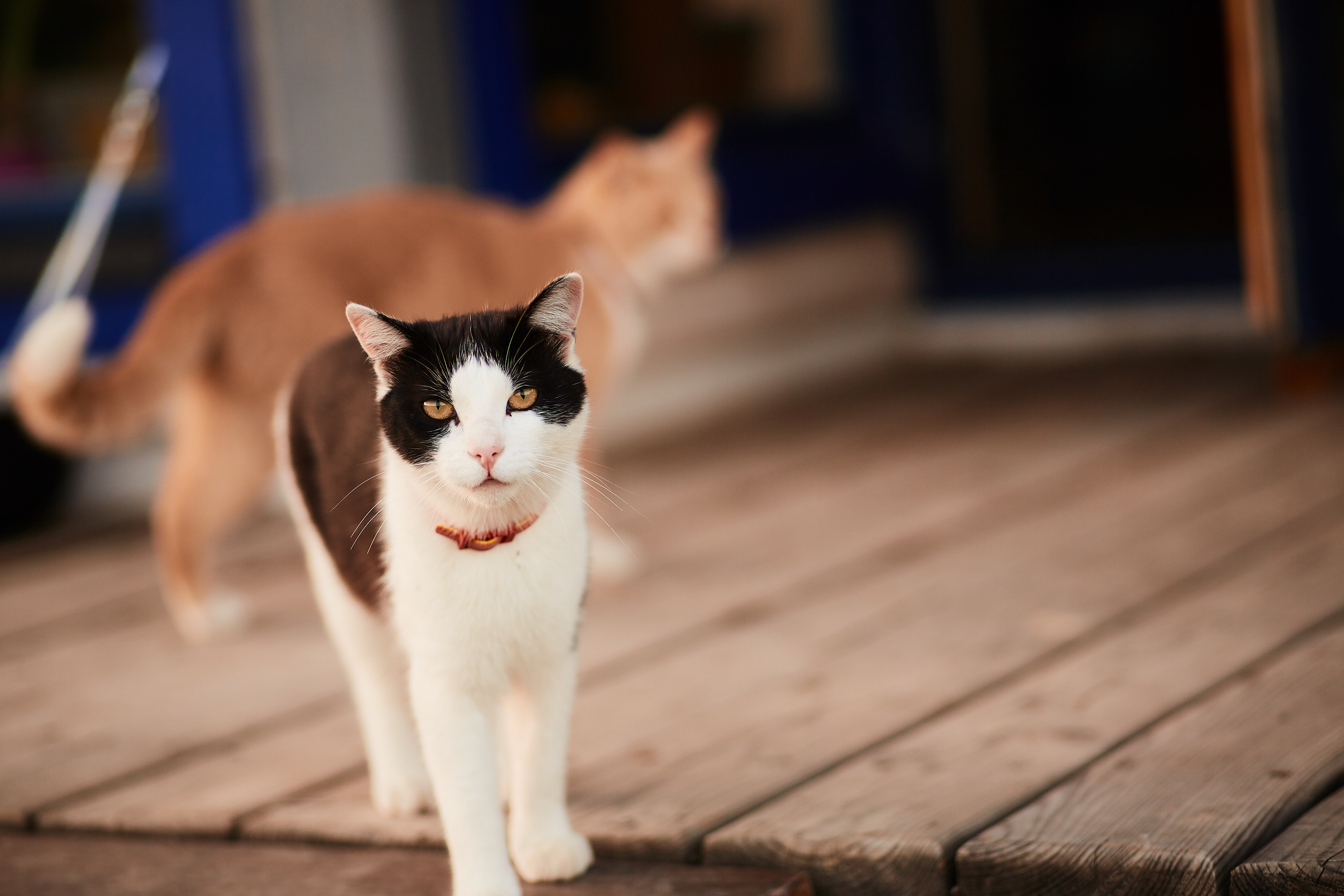 Black and white cat stands on the wooden porch of a country hous